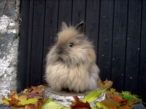 Lion head rabbit! I want one so bad