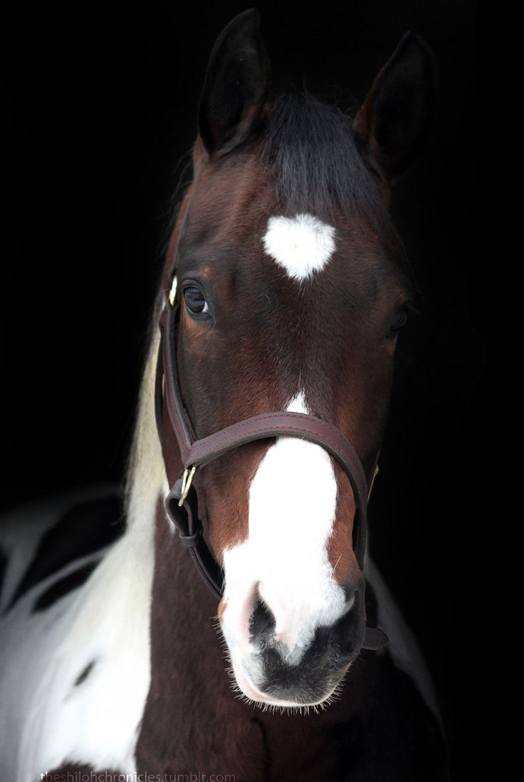 Horses - Shiloh is a tobiano paint Quarter horse.