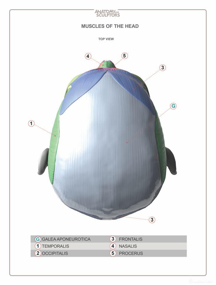 17 Best Anatoma Images On Pinterest Anatomy Reference Anatomy
