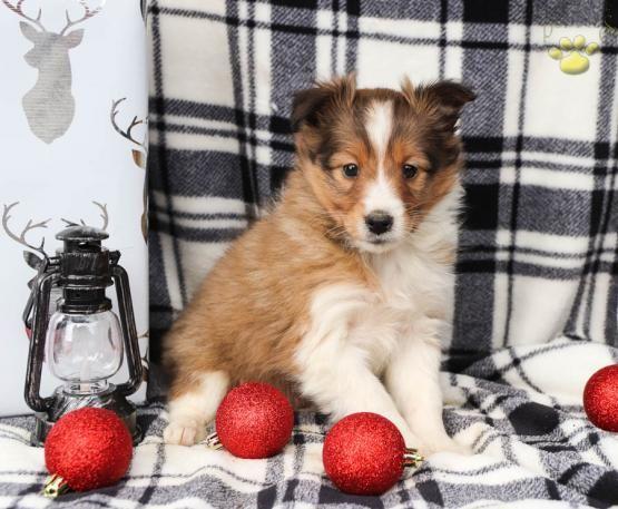 Bella Shetland Sheepdog Puppy For Sale In Coburn Pa Lancaster