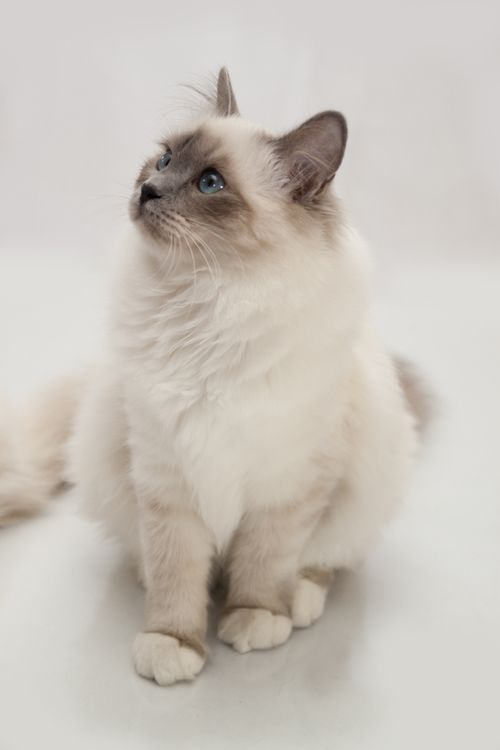 I'll have a Birman named Cécille and she will be allowed to sleep on my bed.