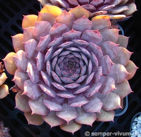 Sempervivum 'Blue Balou'