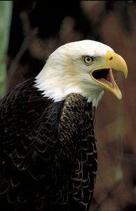 Orel bělohlavý - Avers numismatu nese stylizované vyobrazení amerického orla bělohlavého, heraldického zvířete USA, které se nachází v jejich státním znaku. Mluvou heraldiky je orel vznešeným králem ptáků a přeneseně je symbolem moci, vítězství a vlády. Společně se lvem patří k nejvýše ceněným heraldickým figurám. Nad jeho hlavou je dále vyraženo třináct pěticípých hvězd, které symbolizují 13 původních zakládajících států USA.