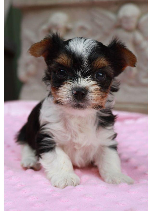 Biewer (Yorkie) puppy Paisley 6 weeks Biewer Puppy Paisley