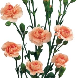 FiftyFlowers.com - Peach Mini Carnation Flowers