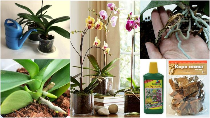 БАЗОВЫЙ УХОД ЗА ОРХИДЕЯМИ | полив, субстрат, цветение, корни