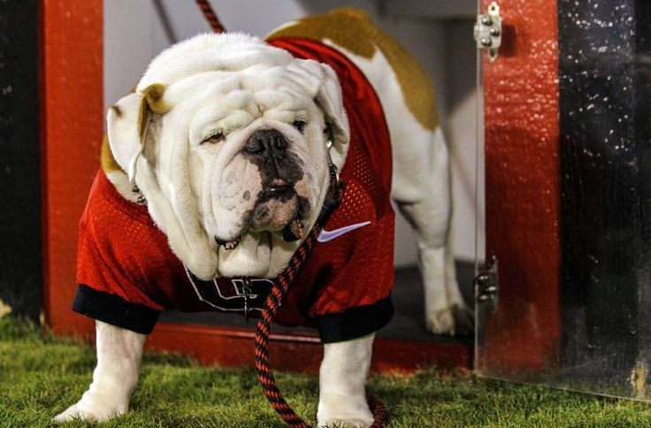 georgia bulldogs schedule 2014 | September 22, 2012; Athens, GA, USA; Georgia Bulldogs mascot Uga IX in ...