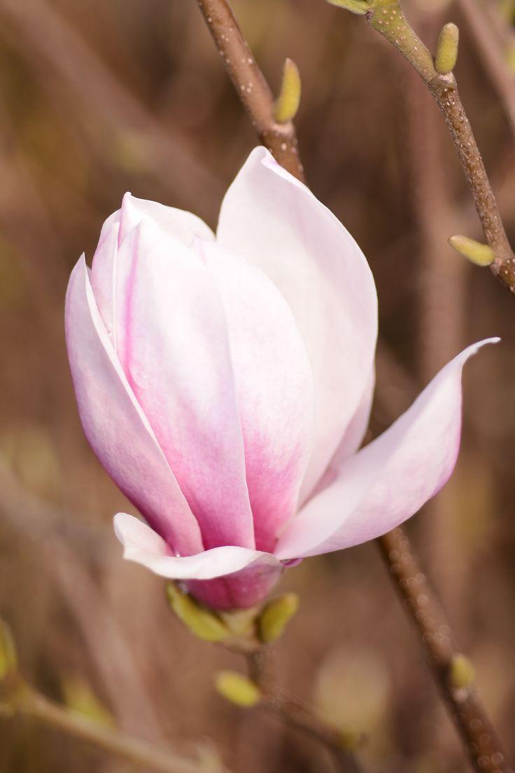 Magnolia_soulangiana_Alba_Superba ©pflanzmich.de