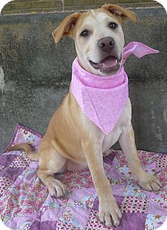 Helena, AL - American Pit Bull Terrier/Shepherd (Unknown Type) Mix. Meet Turquoise, a puppy for adoption. http://www.adoptapet.com/pet/18238865-helena-alabama-american-pit-bull-terrier-mix