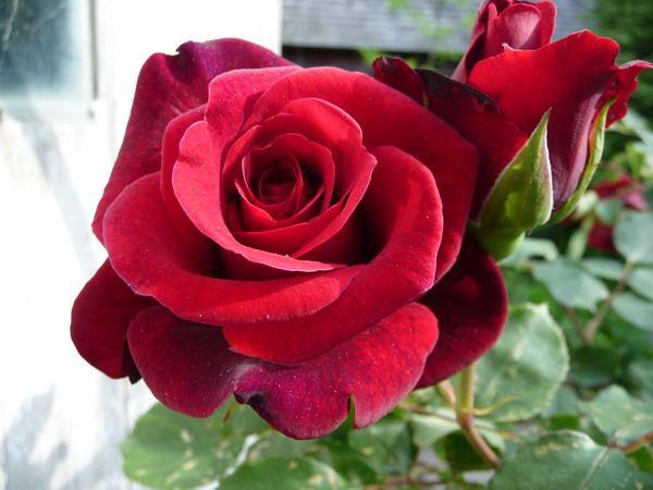 Rózsák : Futórózsa - Don Juan  Bordó, telt, vágóvirágú, erősen illatos.