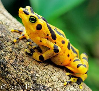 Panamanian Golden frog~ is a critically endangered toad which is endemic to Panama since 2007. These frogs are unusual in that they communicate by a form of semaphore, waving at rivals and prospective mates.