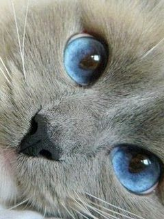 (Beautiful eyes.)   What a wonderful and sophisticated colour scheme this combination of blues and fawn greys would make for a bedroom or living room, be it in a contemporary or historic property.  [CasaGiardino]-love these colors for a bedroom.  And it's a kitty!