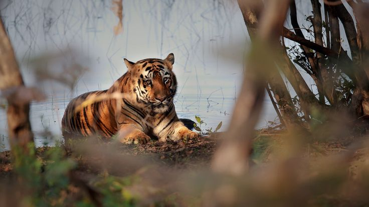 Tiger Cooling off... by Vishwa Kiran on 500px