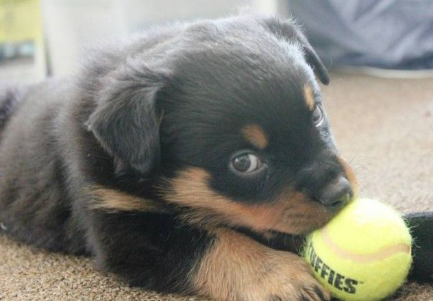 Just walk away!!Rottweilers And Baby, Rottweilers Puppies, Little Puppies, Old Dogs, Rottie Puppies, My Heart, Puppies Puppies3, Baby Puppies, Rottweiler Puppies