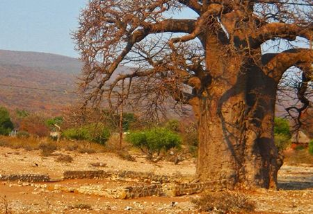 The Baobab Tree Meeting Place:In Africa the Baobab tree comes close to being regarded as sacred – or as the shelter under which the elders talk and consult until they reach consensus. Here is a picture of a traditional meeting place beneath a Baobab tree close to a Venda Village. It is almost as if the tree bears witness to what is discussed beneath its shade and because of its own magnificence, gives greater power to whatever decisions are made.