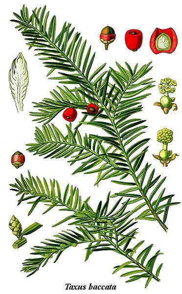 Absolute POISON to horses! common yew shrub Taxus baccata -