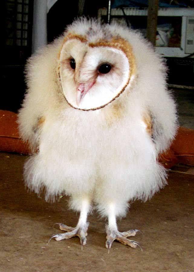 I haz panta-loonz! | Barn Owls | Pinterest