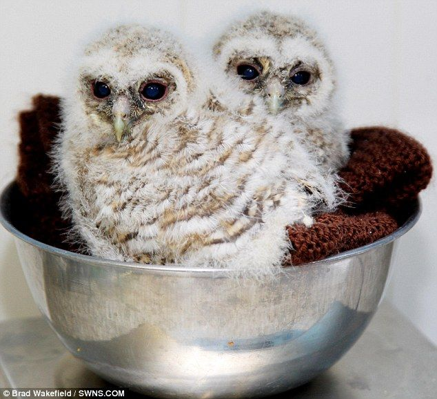 Cute baby white owl - photo#39