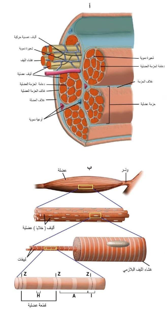 Pin By Chemistry On الحيوية In 2021 Skeletal Muscle Muscle Skeletal
