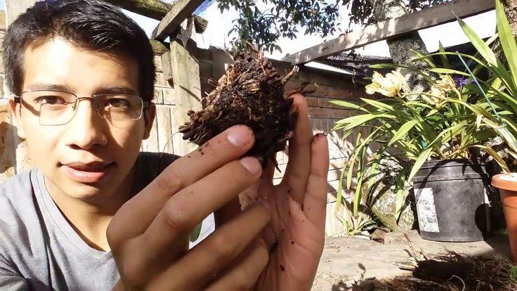 ¿Por qué se ponen de color café las raíces de las orquídeas? || Orquiplanet