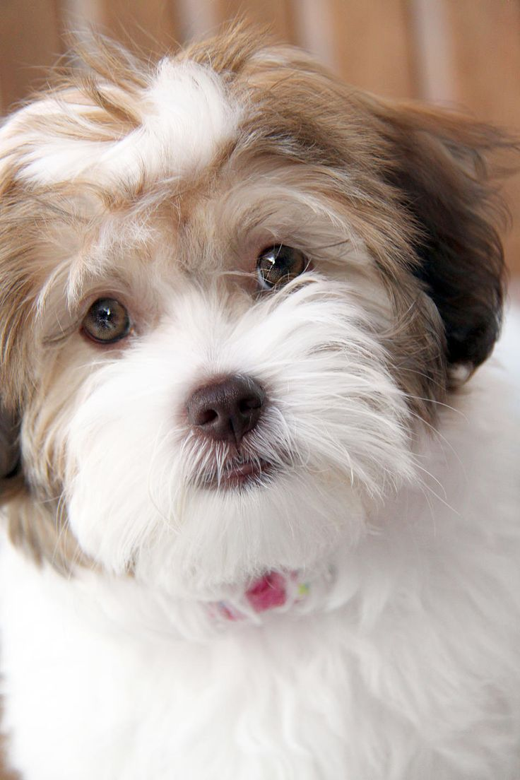 Thelma: Havanese puppy for sale near Virginia USA