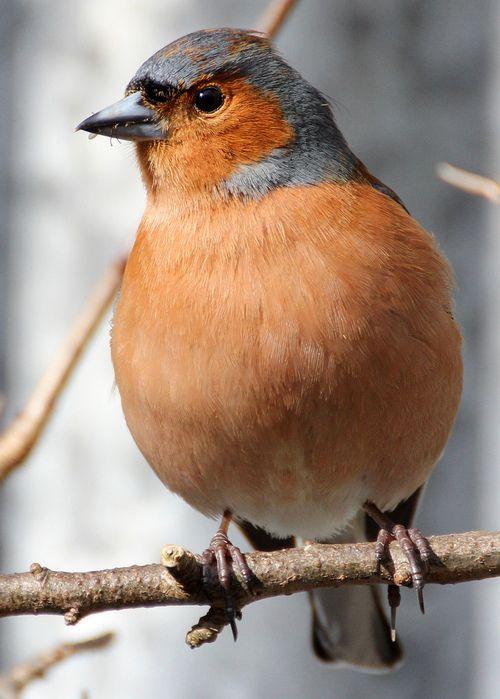 Male Chaffinch.