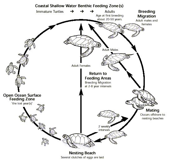 diagram depicting the life cycle of marine turtles