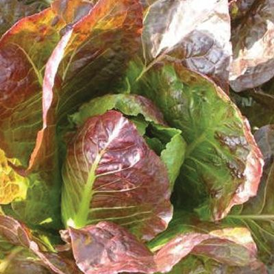 LETTUCE Rubens Red (The Organic Gardening Catalogue)