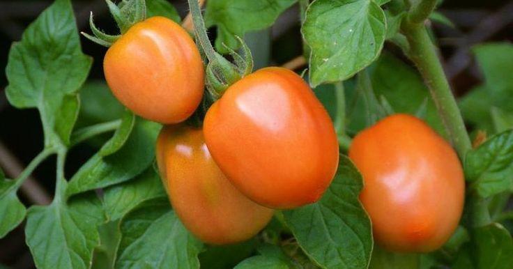 7 trucos infalibles para cultivar tomates hasta invierno