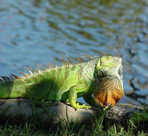 Imágenes de la iguana verde