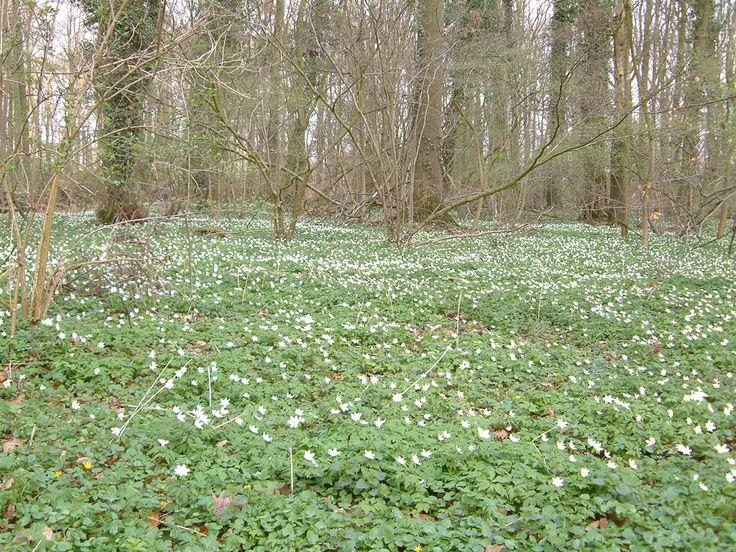 Bosanemonen in het Buskersbos bij Winterswijk.