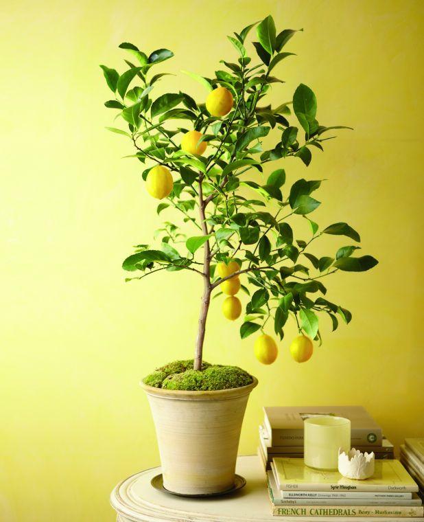 arbre fruitier en pot citronnier-magnifique-mousse