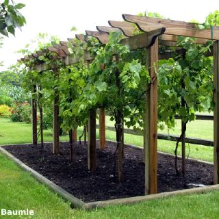 Grape Arbor - I like the lack of other plant competition to keep the grapes healthy, and the edging to both keep it looking manicured and allow for flood irrigating.
