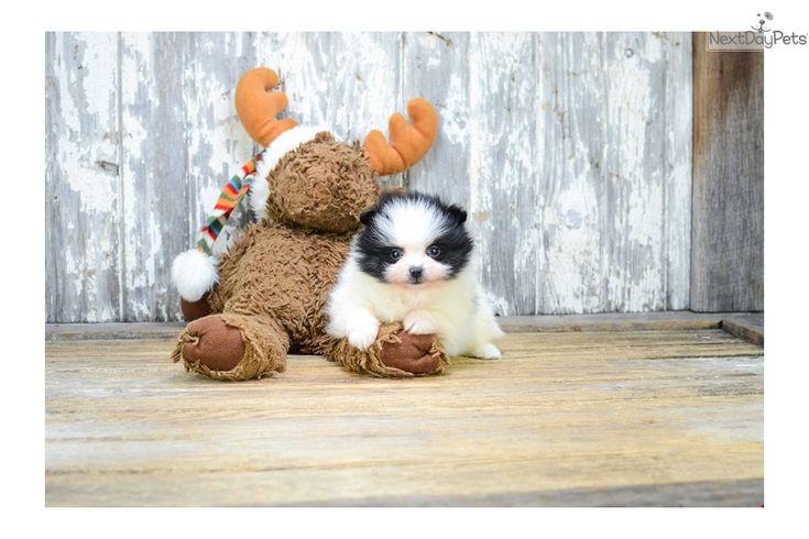 Pomeranian puppy for sale near Columbus, Ohio   3e1536f9-1381