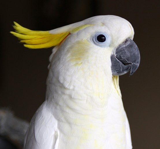 36 best images about Sulphur Crested Cockatoos on ...