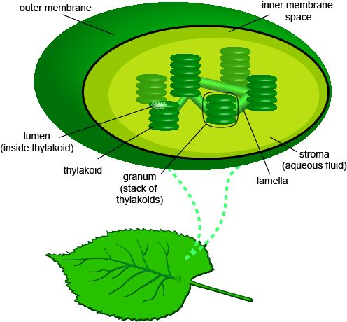 Inputs and Architecture of Photosynthesis