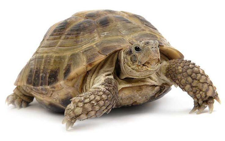 Información sobre tortuga del desierto