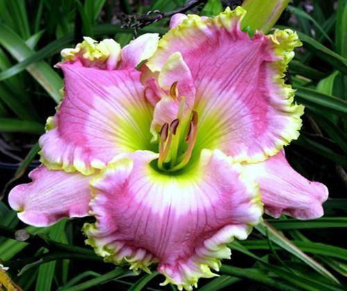 Daylily, Hemerocallis 'Crowning Light' (Stamile, 2009)
