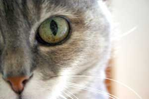 Common cat eye problems explained and deal with them, including how to give eye drops.