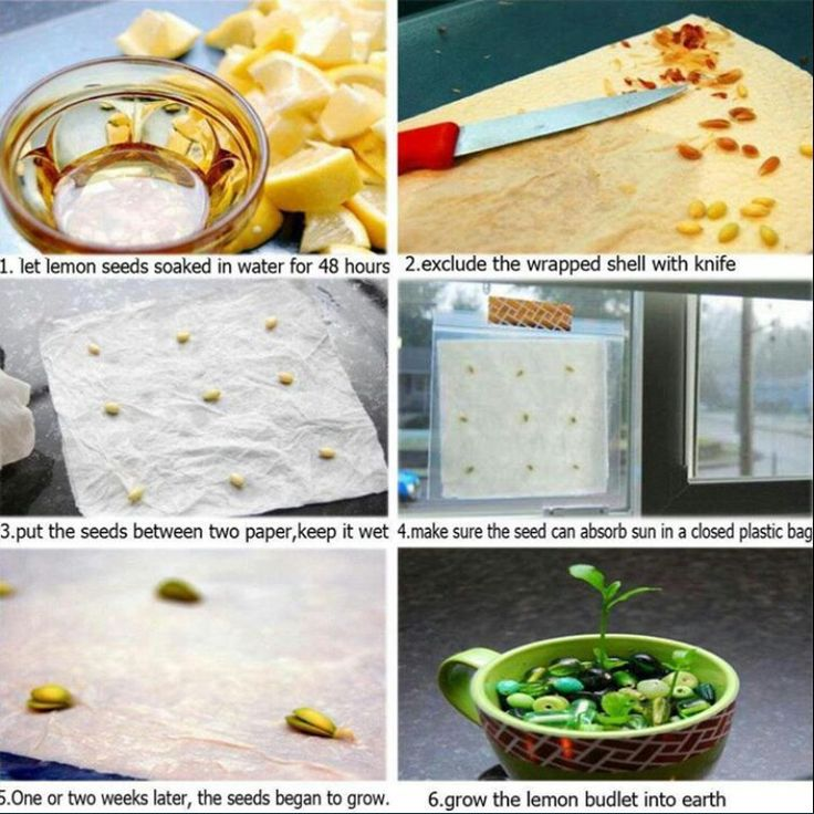 How to grow lemon seeds