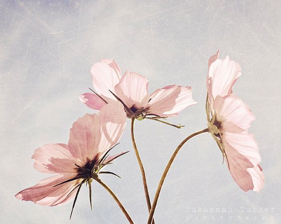 Blush - 8x10 pale pink cosmos flower photo - spring summer room decor, wall art, pastels on Etsy, £20.37