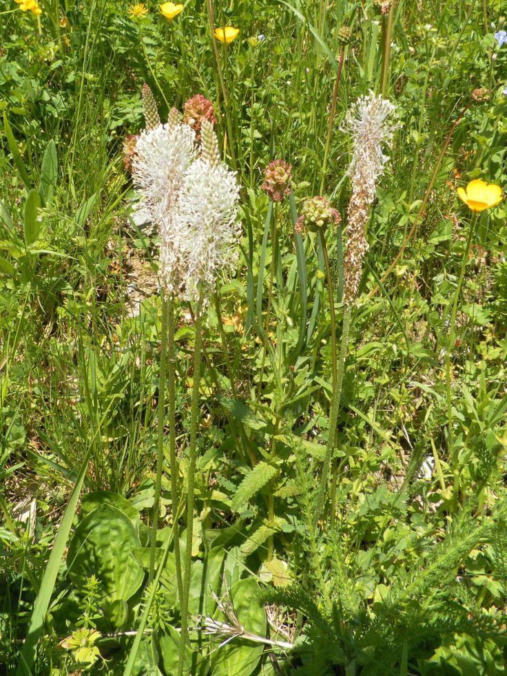Plantago lanceolata, Plantain lancéolé, identifié par Herbéo