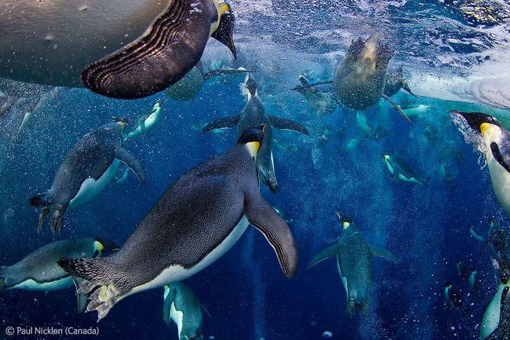 Emperor penguins in the Ross Sea