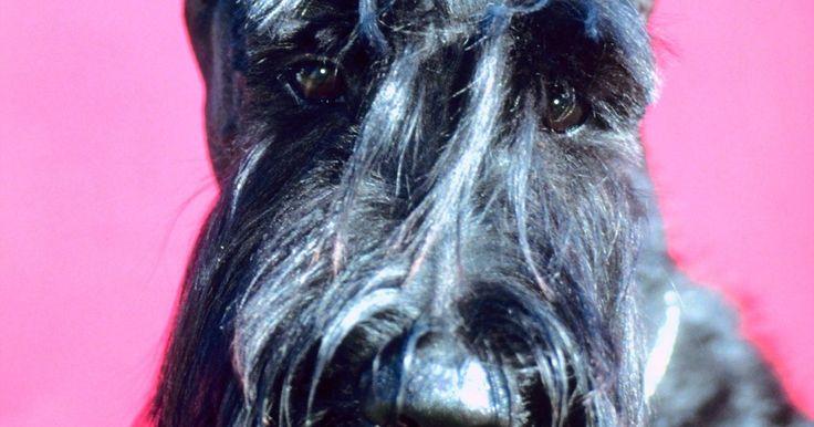 Cómo saber si tu cachorro Schnauzer es miniatura, estándar o gigante