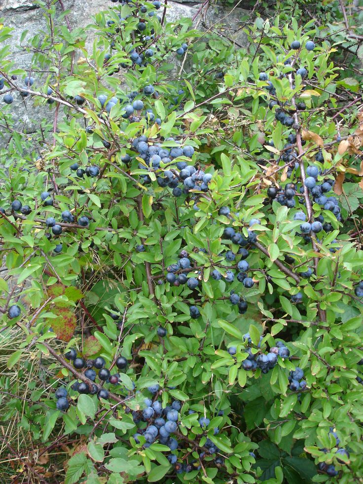 "This shrub is called Blackthorn (its berries are called Sloe). Names in other languages: Slån or Slånbärsbuske in Swedish, Slåpetorn in Norwegian, Slåen in Danish, Oratuomi in Finnish, Prunellier in French, Sleedoorn in Dutch and Schwarzdorn in German and ""kökény"" in Hungarian. Where and when: North west of Gothenburg, Sweden. 24 September, 2005 (13:36) Photographer: Martin Olsson (mnemo on en/sv wikipedia and commons). https://en.wikipedia.org/wiki/Prunus_spinosa"