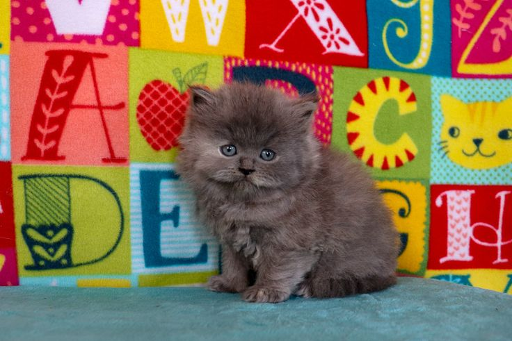 Persian Kittens For Sale Near Me Cheap