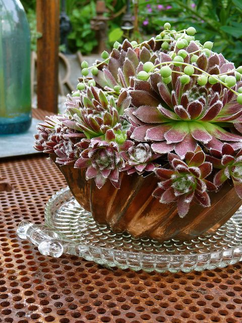 Beautiful Sempervivum in bunt cake pan. Love this idea, think I will do it!!