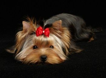 How to Take Care of Yorkshire Terriers Hair | TreeHousePuppies