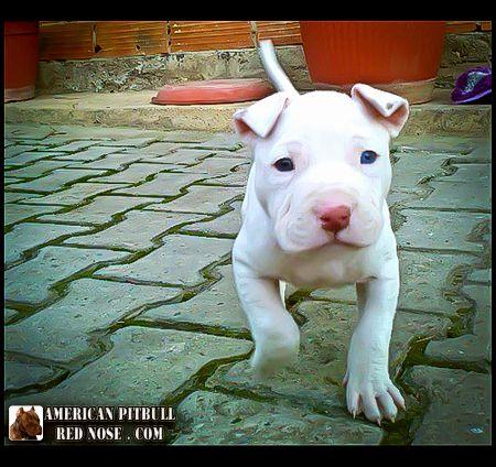 White Pit bull puppy