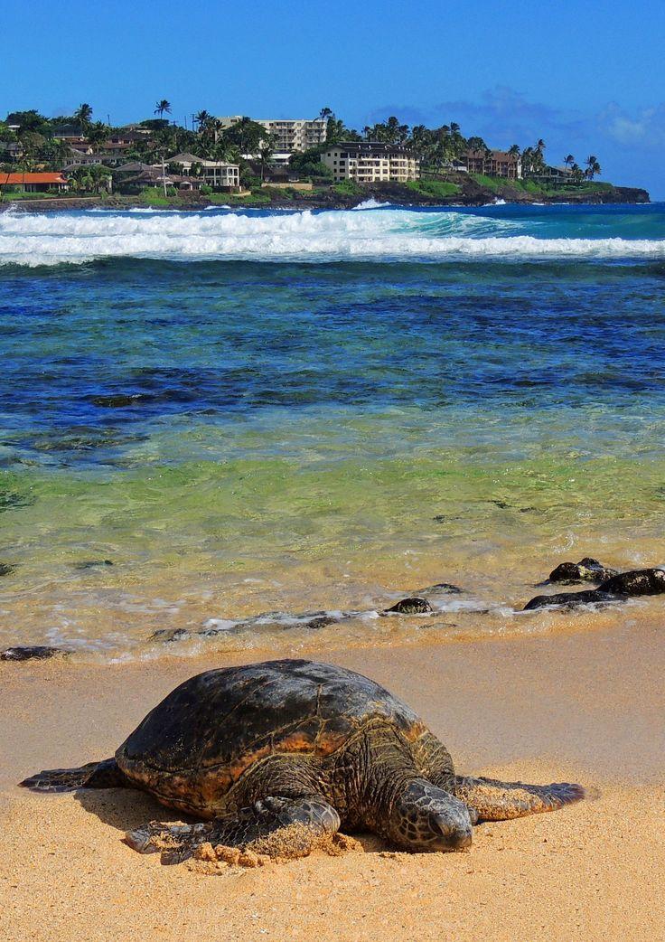 Green Sea Turtle at Poipu beach, Kauai, Hawaii